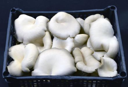 Fresh selected fillet of pleurotus mushrooms 3kg